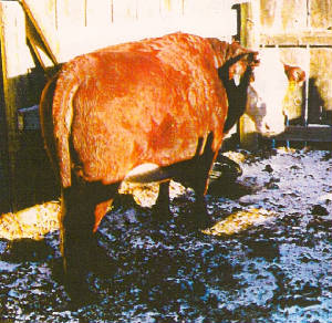 What Kind Of Benefits Can You Receive From Simply Adding Hydrogen Peroxide To Your Drinking Water Ask This Cow